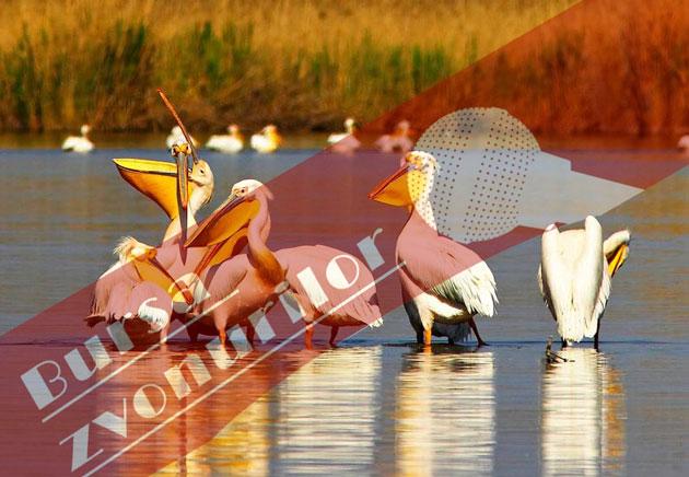pelicani-in-familie